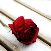 foto rosa
